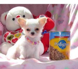 Chihuahuapuppyforadoption