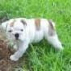 Twolovelyenglishbulldogpuppiesforadoption