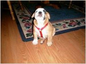 AKCregisteredenglishbulldogforadoption