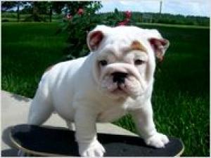 helprescueourlovelyenglishbulldog