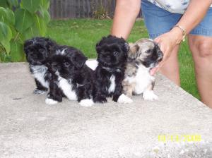 MaleShihTzuPuppies