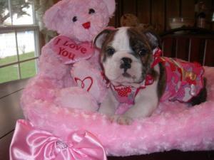 lovelyenglishbulldogpuppiesforsale