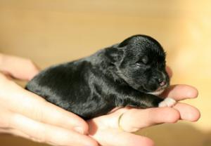 ChineseCrestedPuppies