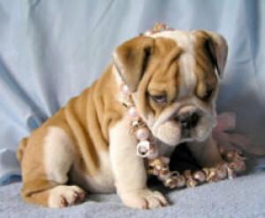 playfulbulldogforadoption