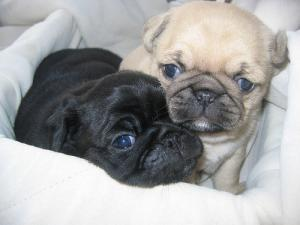Pugpuppiesavailable