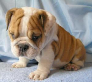 AKCRegisteredEnglishBulldogPuppiesforX-Mas