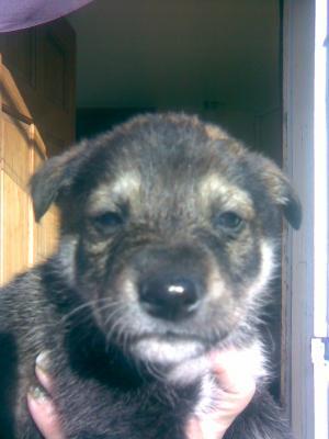 wolfredsiberianhuskypuppy