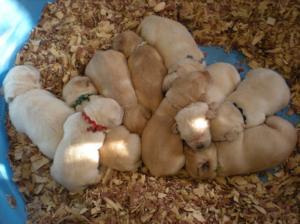 LabradorBreederPuppiesforSaleIndianaAKCregi