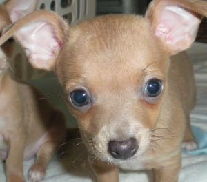 ChihuahuaBabyForSale