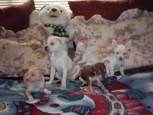 LoveableChihuahuaPuppies