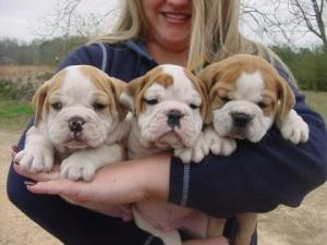 CuteandlovelyEnglishbulldogpuppiesforadopti