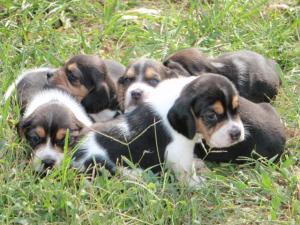 AKCBeaglePuppies