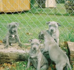 BluePitbullPuppies