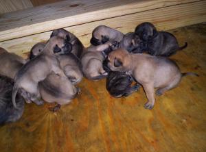 CKCBullmastiffPuppies