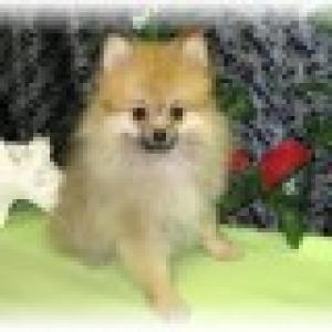 PomeranianPup