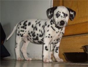 Dalmatianpuppiesforsale