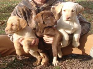 YellowandChocolateLabPuppies
