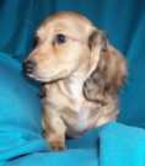 AKCMiniatureDachshundPuppies-Long-haired