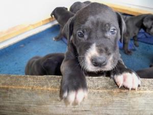 AdorableGreatDanePuppiesBornDecst