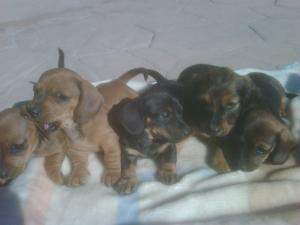 MinitureDachshundPuppies