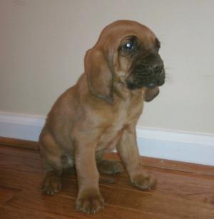 CKCBloodhoundPuppies-wksold