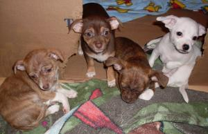 Chihuahuapusforsale