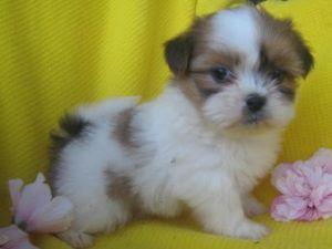 AdorableShihTzuPuppies