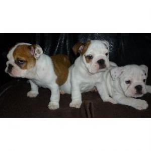 BulldogPuppies-weeksold