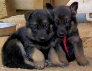 GermanShepardPuppies
