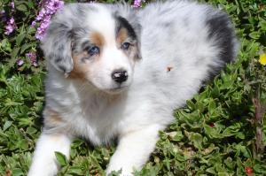 GorgeousAussiePuppies