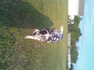 Lacey--Dalmatian