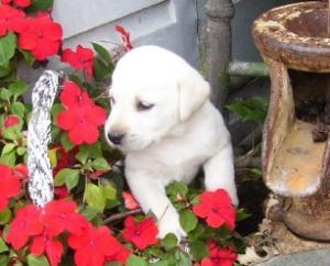 LabradorPuppiesforsaleAKCallcolors