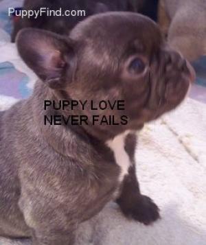 ChocolateFrenchbulldogpuppys