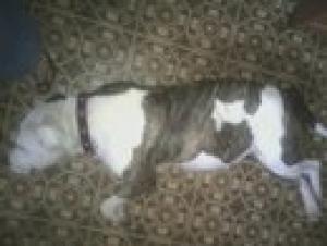 AmericanBulldogMix