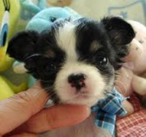 CHIHUAHApuppiesforNEWHOME