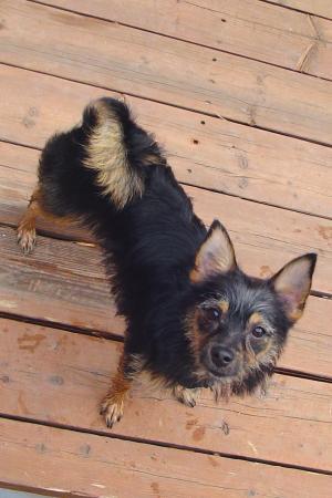 ChihuahuaYorkiemixJoeyColoSpgsCO