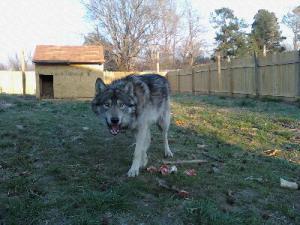 wolfhybridpuppies