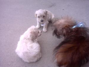 DarlingYochonePuppies