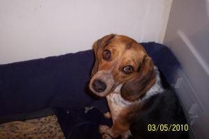 Beaglepuppyforsale