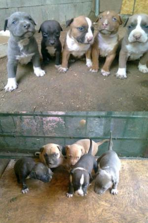 BluenosePitbullpuppiesforSale