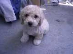 AdorableMaltipoopuppy
