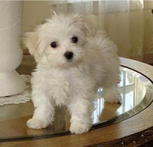 CuteMaltesePuppiesAvailable