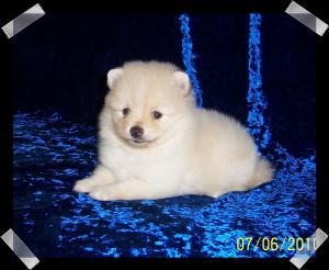 PomeranianPuppies