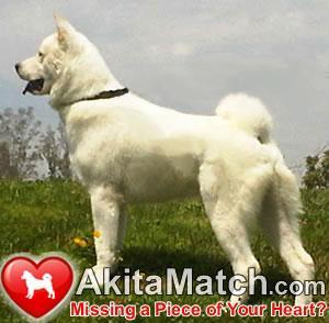 AkitaMatchcom-BuyAkitaPuppiesFindAkitaStu