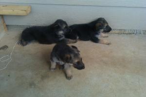 PurebredGermanSheperdPuppies
