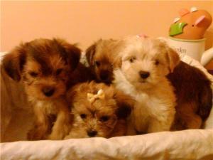 AdorableShorkiePuppies