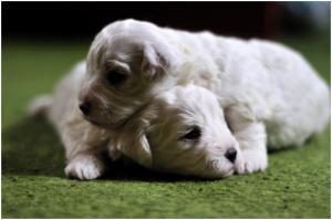 PuppiesBichonFrise