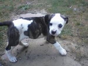AdorableNKCAmericanBulldogPuppyforSale