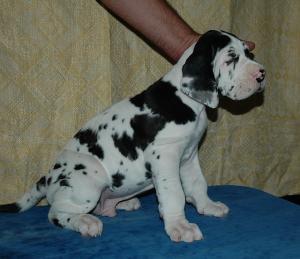 PuppiesForSalePuppiesGreatDane