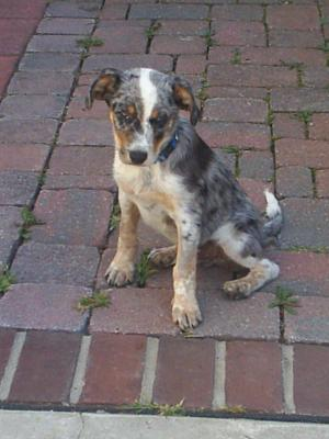 beautifulaustralianshepherdpuppyforsale